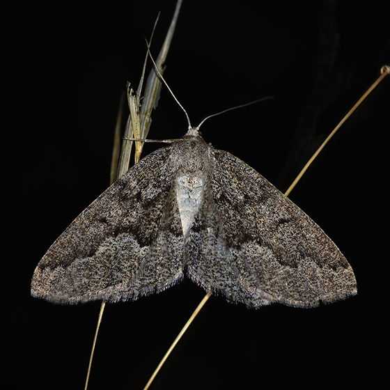 Packard's Girdle - Enypia packardata