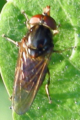 Syrphid Fly - Rhingia nasica