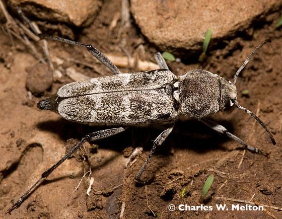 Longhorned Beetle - Xylotrechus albonotatus