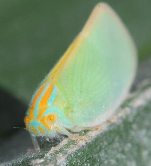 hopper - Ormenaria rufifascia