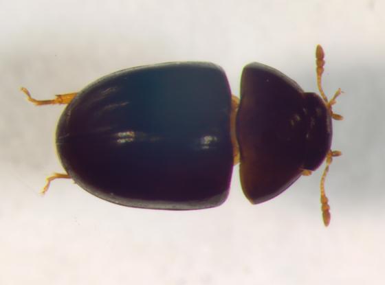 Phalacridae, Acylomus - Acylomus