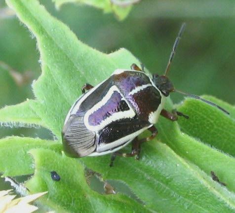 Stink Bug - Perillus circumcinctus