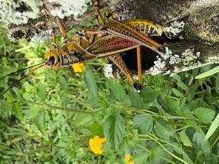 Central Florida Grasshopper