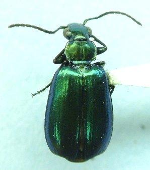 Lebia - Lebia viridis