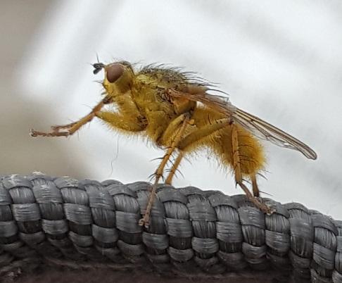 Yellow Dung Fly - Scathophaga stercoraria - Scathophaga stercoraria - male