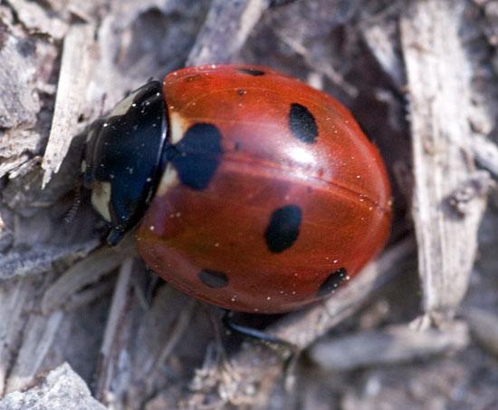 lady bug adult - Coccinella septempunctata