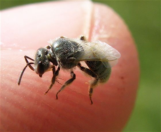 Sweat Bee - Lasioglossum