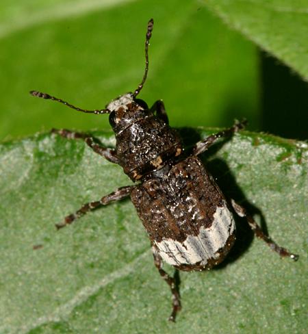 White Banded Beetle - Eurymycter fasciatus