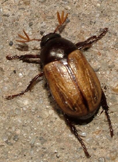 Neat Beetle - Anomala flavipennis