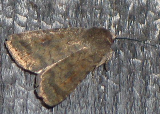 Mottled Rustic - Caradrina morpheus