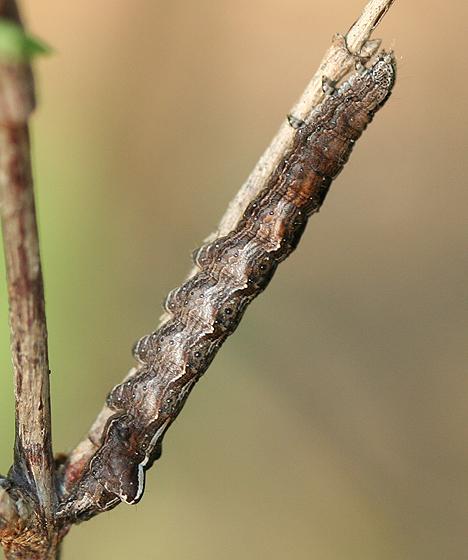 Caterpillar - Pleromelloida cinerea
