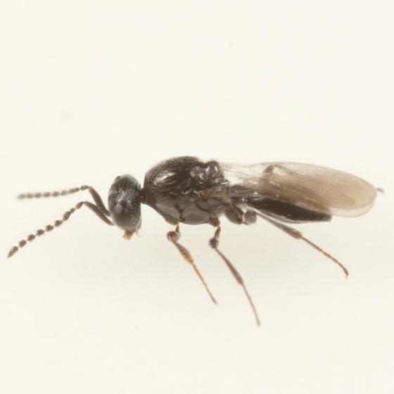 Platygastrid ex Contarinia cerasiserotinae - Platygaster pruni - male