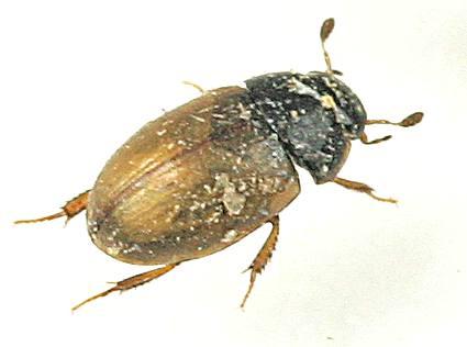 Beetle -? - Cercyon quisquilius