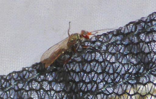 Wasp - Ageniella salti