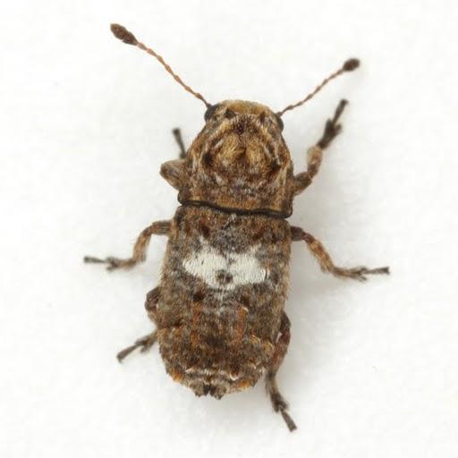 Toxonotus cornutus (Say)  - Toxonotus cornutus