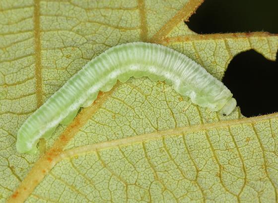 sawfly larva on Alder - Monsoma pulveratum
