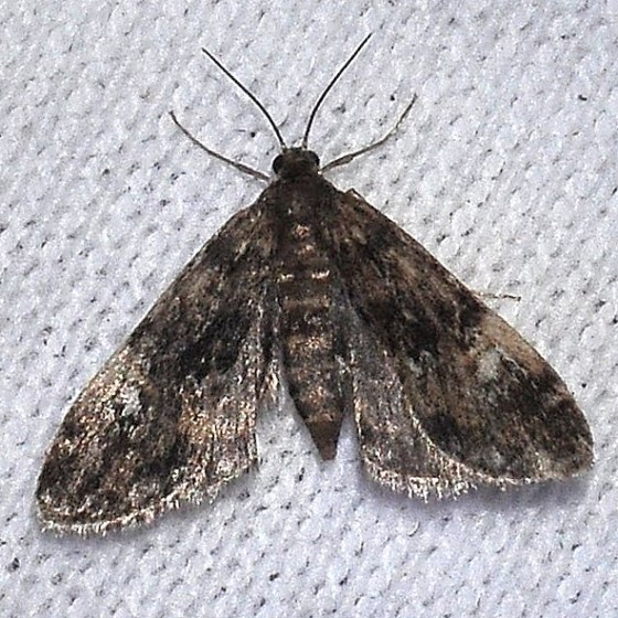 Moth - Elophila obliteralis