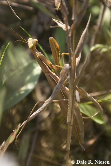 Mantis 1 - Chinese? - Mantis religiosa - female