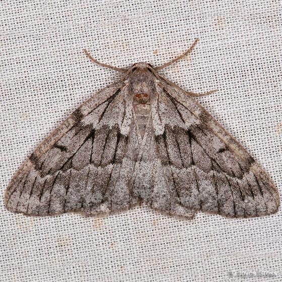 moth - Nepytia lagunata - male