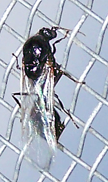 Solenopsis