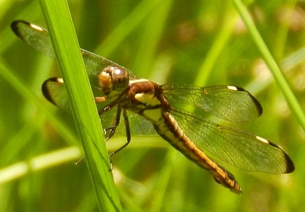 Spangled - Libellula cyanea - female