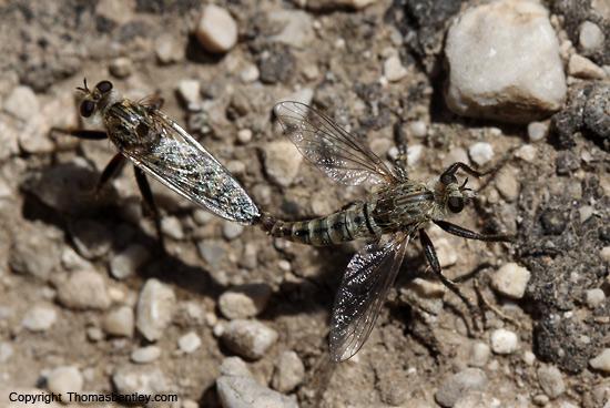 Robber Flies - Lestomyia - male - female