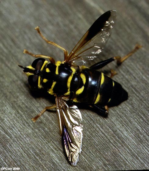 Hoverfly - Meromacrus acutus - female