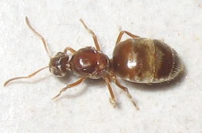 False Honey Ant (Probably a Dealated Queen) - Prenolepis imparis - female