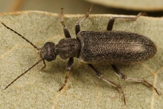 beetle - Stereopalpus pruinosus