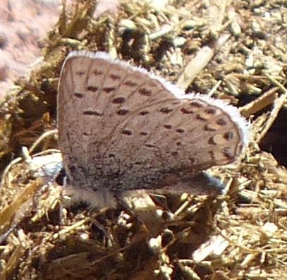 Waterton Blue - Celastrina neglecta