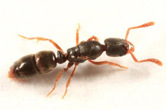 ant - Ponera pennsylvanica