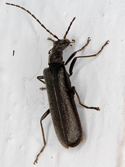 soldier beetle - Dichelotarsus