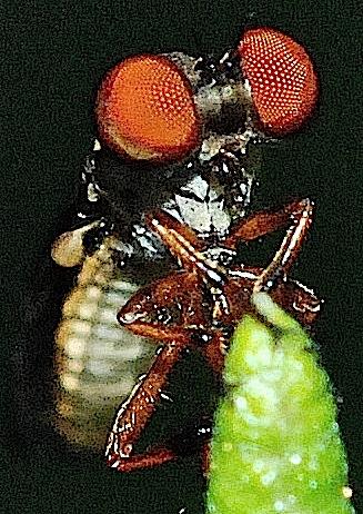 Thin fly - Holcocephala fusca