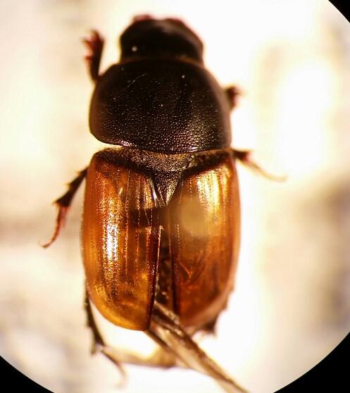 Aphodius erraticus
