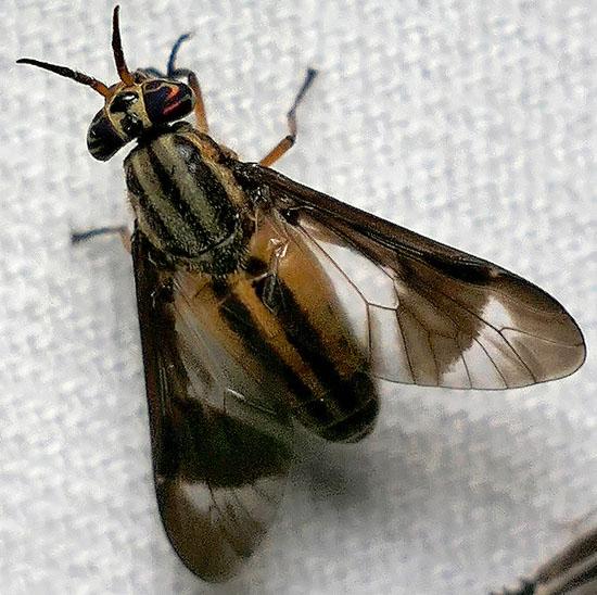 deer fly - Chrysops pikei