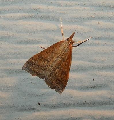 Celery Leftier Moth - Udea rubigalis