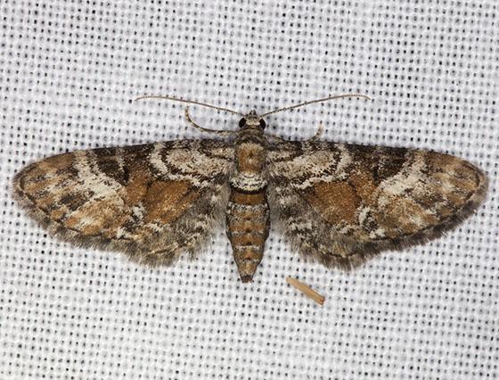 IMG_6726 - Eupithecia anticaria
