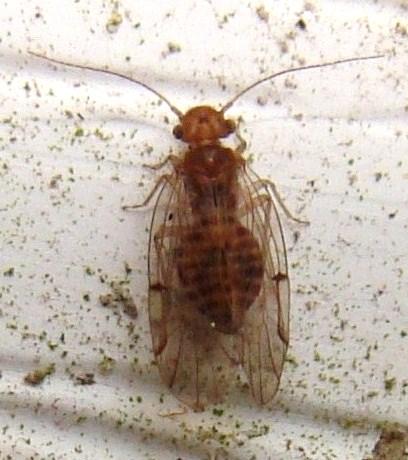 Ectopsocus - Ectopsocus meridionalis
