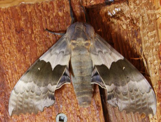 Western Poplar Sphinx - Pachysphinx occidentalis