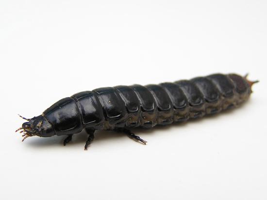 Calosoma scrutator grub - Calosoma