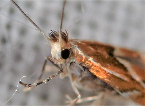 tiny iridescent moth