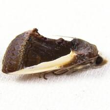 8540 - Citrus Fruit-piercer Moth - Gonodonta nutrix