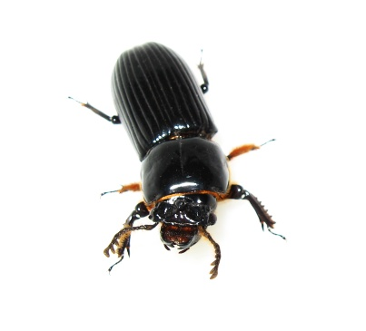Big Beetle - Odontotaenius disjunctus