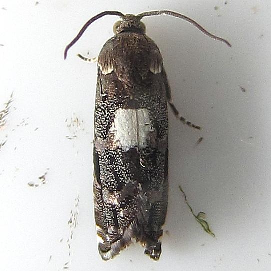 Cydia albimaculana 3461? - Cydia albimaculana