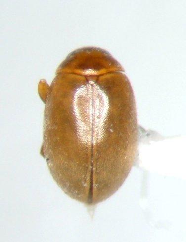 Scirtes goliai - female