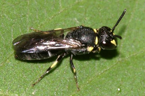 Eastern Modest Masked Bee - Hylaeus modestus