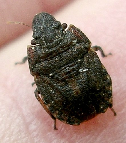 flat brown bug - Sciocoris longifrons