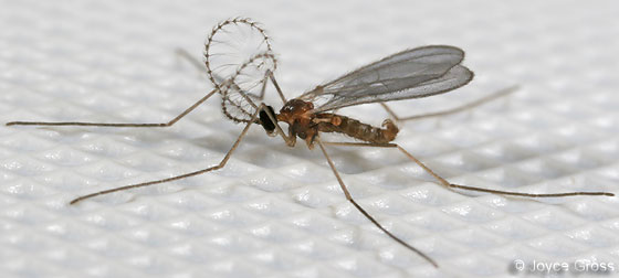 very small fly - Aphidoletes aphidimyza