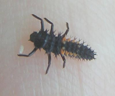 Lady beetle larva - Day 5 - Harmonia axyridis - female