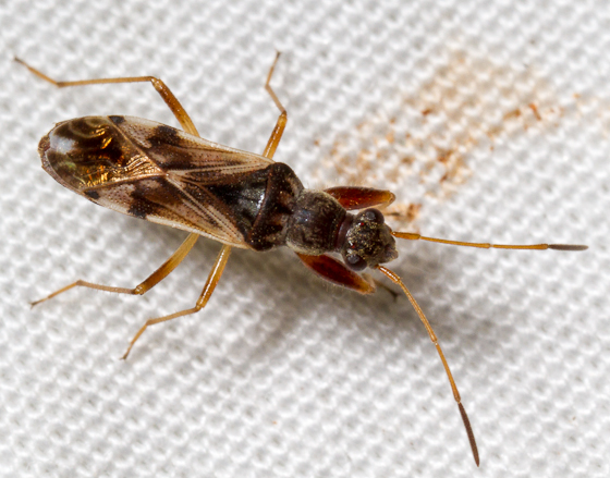 Bug - Neopamera bilobata